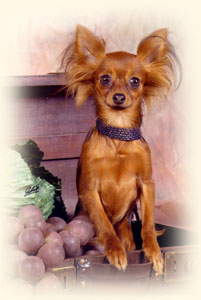 Russkiy Toy Russian Toy Russischer Zwerghund Toy Terrier